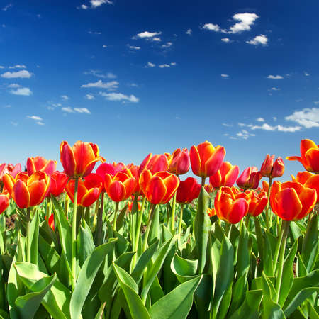 white tulip: Flowers on the sky background