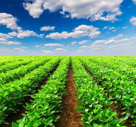 potato tree: Agricultural landscape Stock Photo