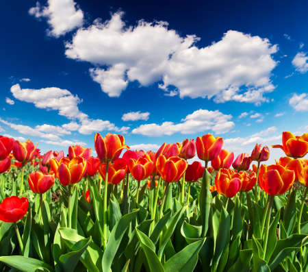 colorize: Tulips on the field and cloudy sky. Beautiful landscape
