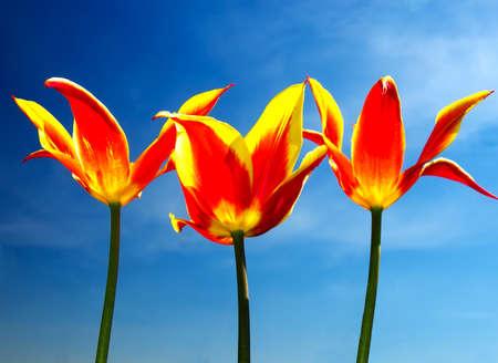 colorize: Tulips on sky background Stock Photo