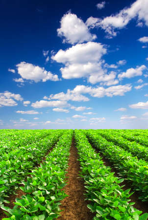 potato tree: Rows and sky with clouds  Agricultural landscape Stock Photo