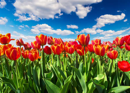 Tulips on the field and cloudy sky  Beautiful landscape