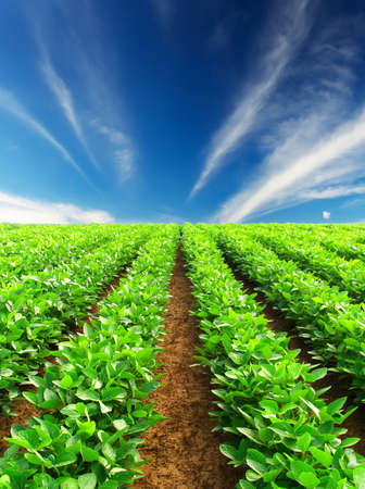 potato tree: Rows on field  Agricultural composition Stock Photo