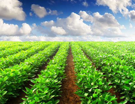 potato tree: Rows on field