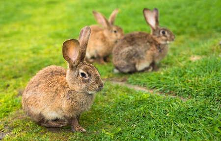 Lapins sur l'herbe. Composition vétérinaire
