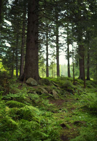 coniferous forest: Walkway in summer forest. Beautiful natural landscape