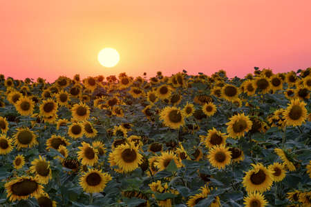 sunflower field: Sunflower on field during sunrise. Beautiful natural summer landscape Stock Photo