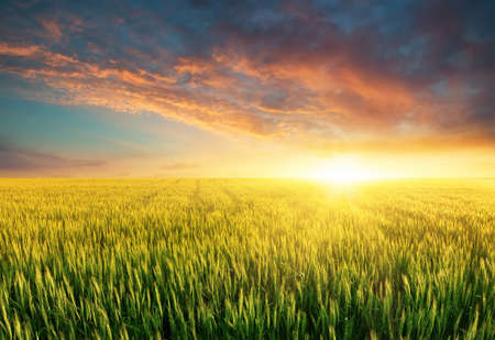 plant growth: Filed during bright sunset. Agricultural landscape in the summer time Stock Photo