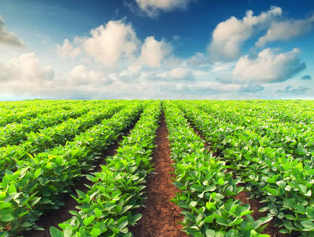 potato tree: Rows on field. Agricultural composition Stock Photo