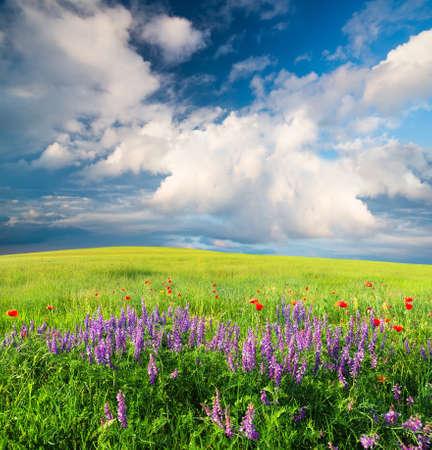 campo de flores: Campo con las flores en el valle de montaña. paisaje de verano Natural Foto de archivo