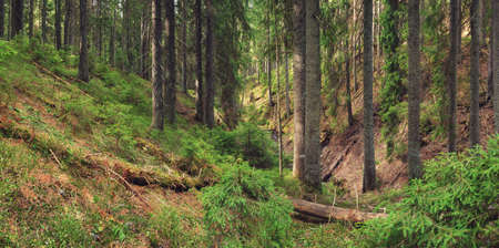 fog forest: Forest background in the summer time. Beautiful natural summer panoramic composition
