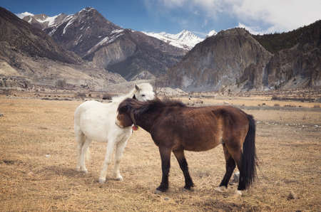 running horses: Horses in the mountain valley. Beautiful natural landscape with animals