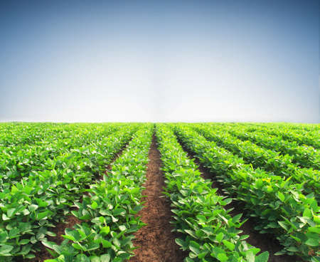 potato tree: Rows on the field. Agricultural landscape in the summer time