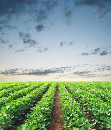 field crop: Rows on the field. Agricultural landscape in the summer time