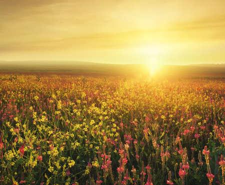 campo de flores: Campo con las flores durante la puesta del sol. paisaje agrícola hermosa en el tiempo de verano Foto de archivo