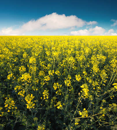 campo de flores: Flowers on the field. Agricultural landscape in the summer time