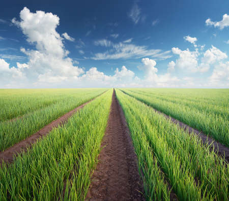 Filas en el campo. Paisaje agrícola en el horario de verano Foto de archivo - 66399525