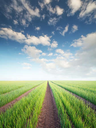 Rows on the field. Agricultural landscape in the summer time