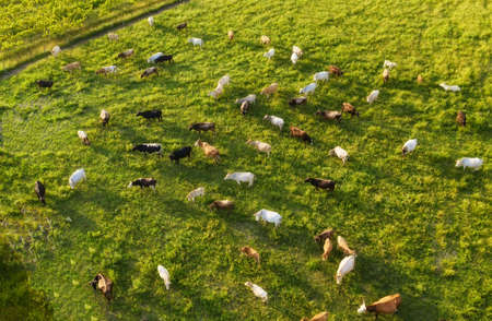 Aerial view at the cows. Farmland landscape from air. Composition with domestic animals. Photo from drone. Animal - image