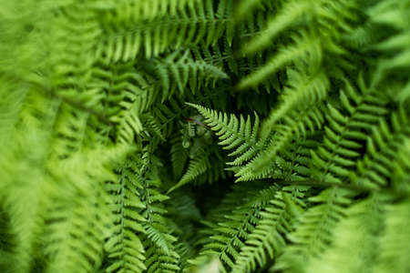 Fern in the forest like a background. Floral plants after rain. Beautiful green color.