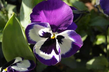 Flowers, Violet