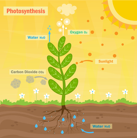 bio: Photosynthesis  Colorful illustration of the photosynthesis process. Eps10 Illustration