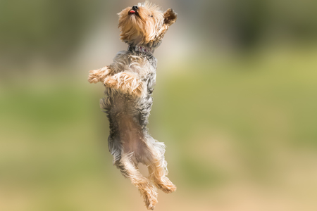 Yorkshire terrier jumping and flying with its tongue out. Stock Photo