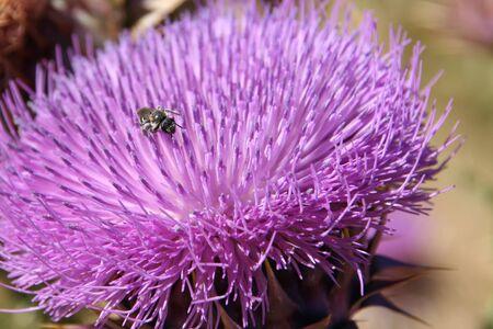 flores moradas: Peque�o insecto en cardo.