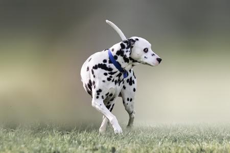 cute animal: Beautiful portrait of a Dalmatian dog.