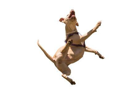american staffordshire terrier: American Staffordshire terrier jumping isolated on white. Stock Photo