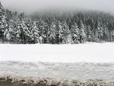 firs: Snowy firs in winter. Stock Photo