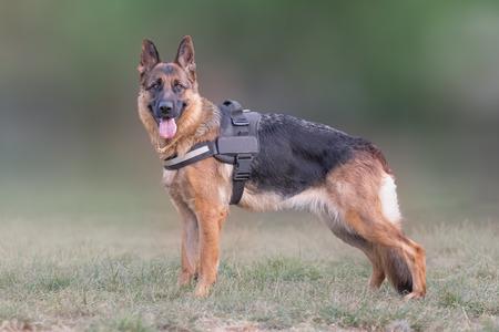perro policia: lobo retrato del perro pastor alemán. Foto de archivo