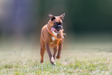 German boxer dog running at a park.
