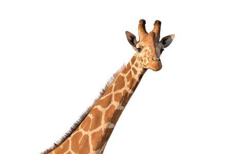 Giraffe isolated on white.