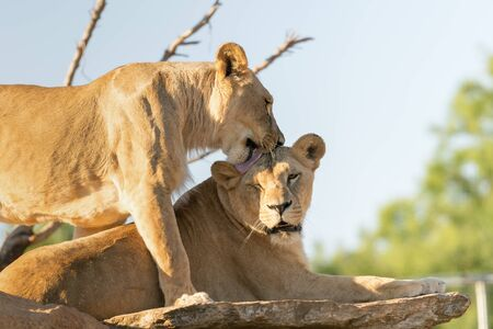 dangerous love: The love of the lions.