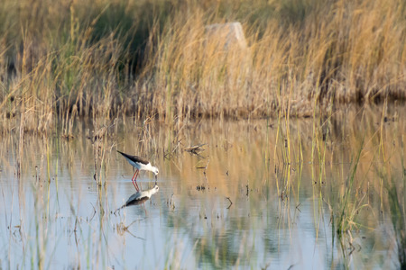 himantopus: Beautiful reflection of a himantopus himantopus bird on its natural environment.