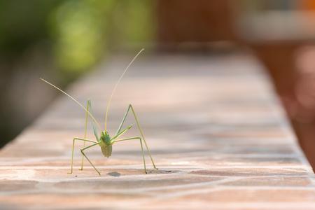 mantel: Green leaf bug walking and eating on a mantel.