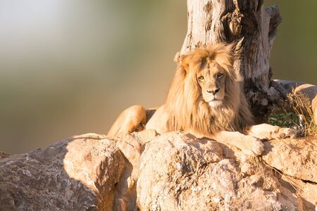 Male Angola lion portrait sitting on rocks with a tree as background.