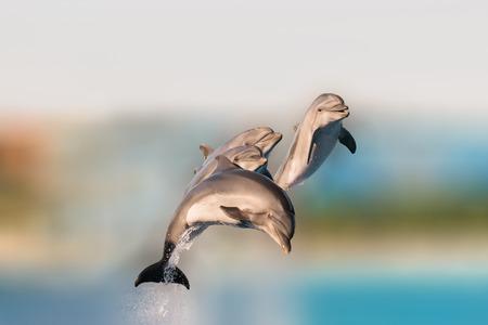 delfin: Latające delfiny zabawy skoki z wody.