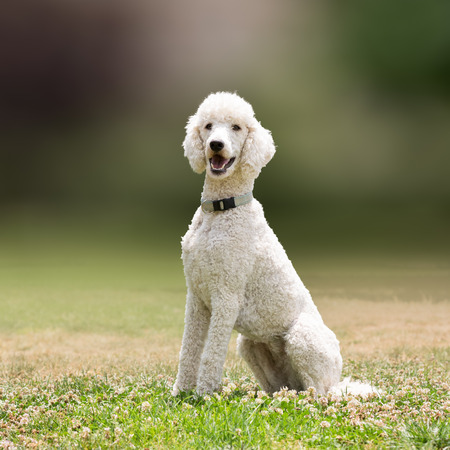 White poodle dog portrait. 스톡 콘텐츠