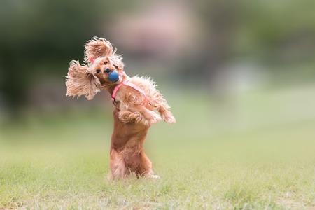 blocking: Cocker spaniel dog  jumping and blocking a ball.