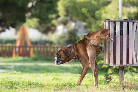 urination: Big dog boxer peeing in a park.