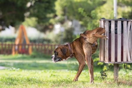 pis: Boxeador perro grande que hace pis en un parque.