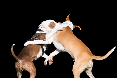 animal fight: Dogs fight isolated on black.