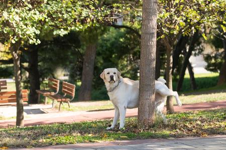 pis: Labrador orinando en un árbol en un parque.