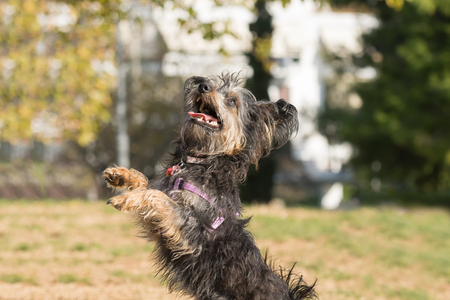 Mini dog yorkie  jumping and playing at a park. Stock Photo