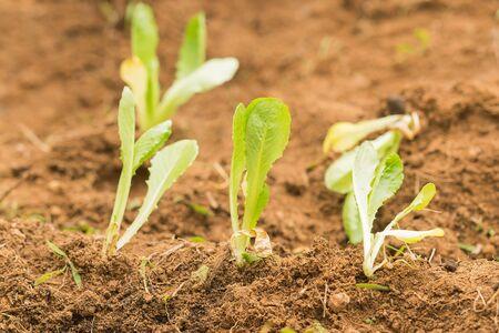 lettuces: Planted lettuces closeup into the fresh soil.