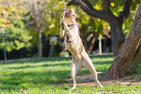 pure breed: American  Staffordshire pure breed jumping to reach a branch.