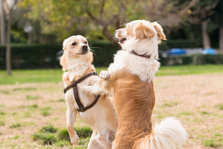 frienship: Two mini dogs against each other. A beautiful moment of playing in a park.