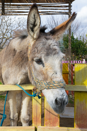 ears donkey: Beautiful close up of a donkey at a park. Stock Photo